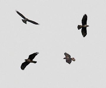 Vuorikotka (Hieraaetus fasciata)