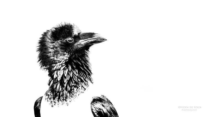 Pied Crow, b&w, Zimanga, South Africa, May 2017-2.jpg