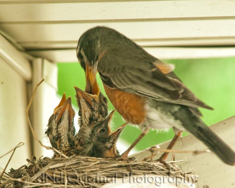 062 Baby Robins Spring 2013.jpg