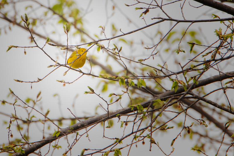 4.21.18 - Blackburn Creek Fish Nursery: Yellow Warbler