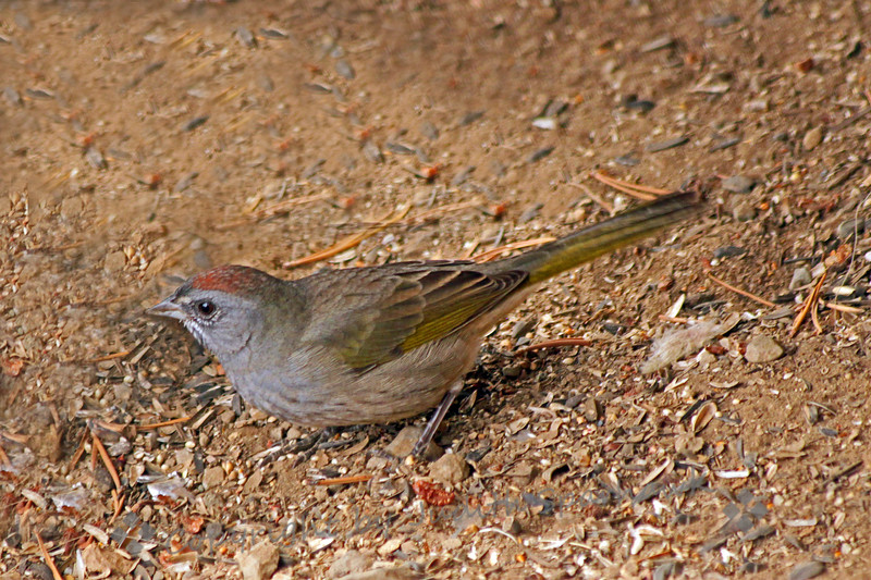 Green-tailed Towhee ~ This bird was very shy, running across the ground for cover.  It did come to the feeder, but stayed under the porch stairs, gleaning seeds scattered by the other bolder birds. This was at Virginia Lakes Resort, at 9770 feet elevation in the east Sierras.