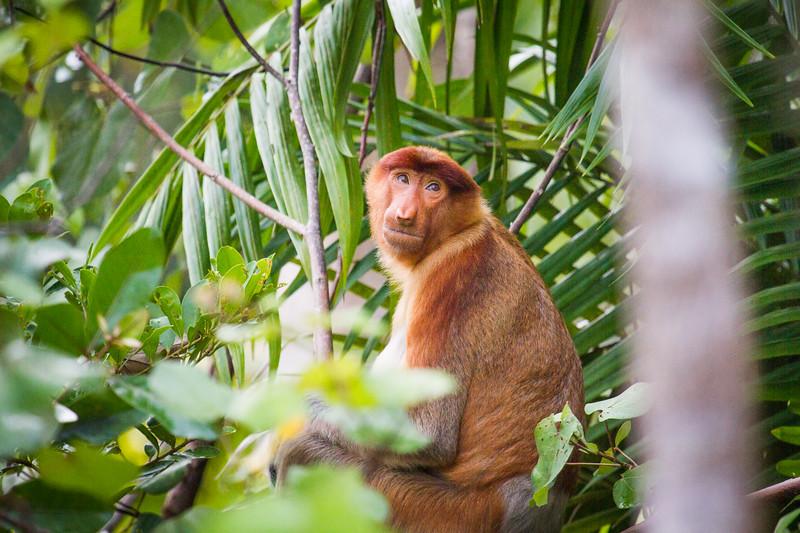 Female Proboscis monkey (Nasalis larvatus), Kinabatangan River, Sabah, Borneo.