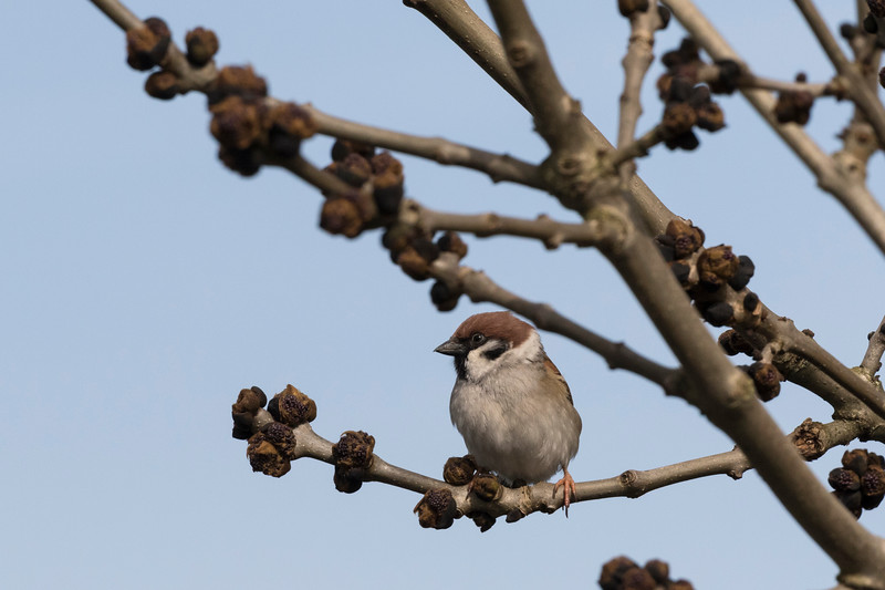 ringmus, tree sparrow