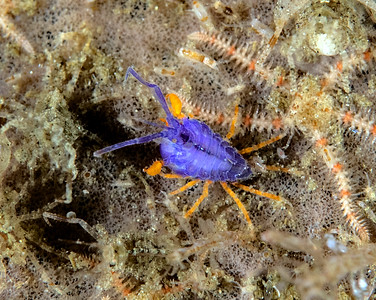 Podocerus cristatus collection