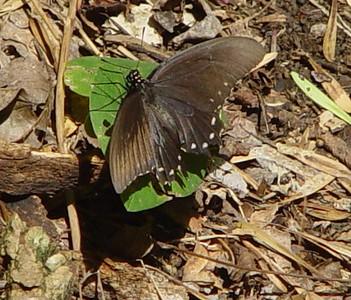 Pipevine Swallowtail female 1 LL.jpg