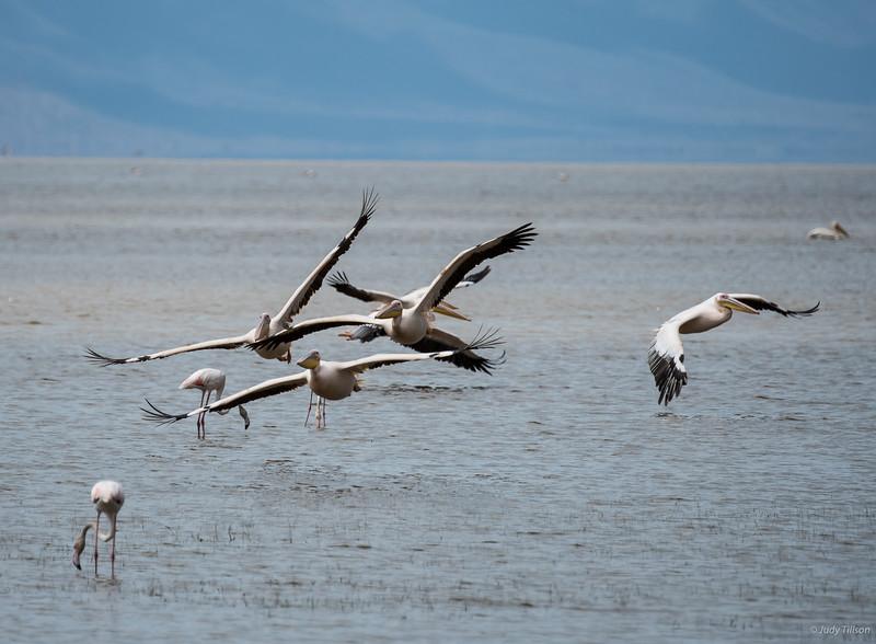 Lake Manyara African white pelicans and flamingoes-2214.jpg