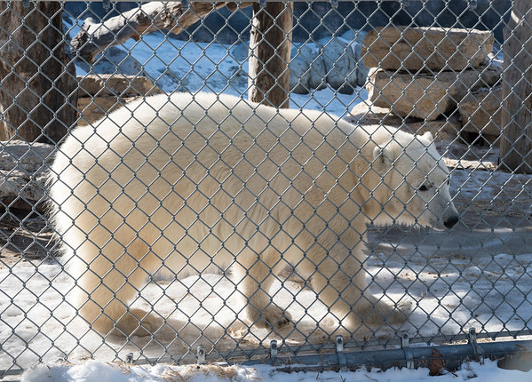 DAVID LIPNOWSKI / WINNIPEG FREE PRESS  Juno the polar bear arrived last week from the Toronto Zoo, and is now on exhibit in her outdoor enclosure at the Leatherdale International Polar Bear Conservation CentreFriday March10, 2017 at the Assiniboine Park Zoo.