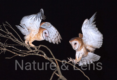 Owls, Barn Owls