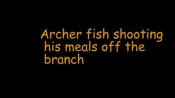 Archer fish 2