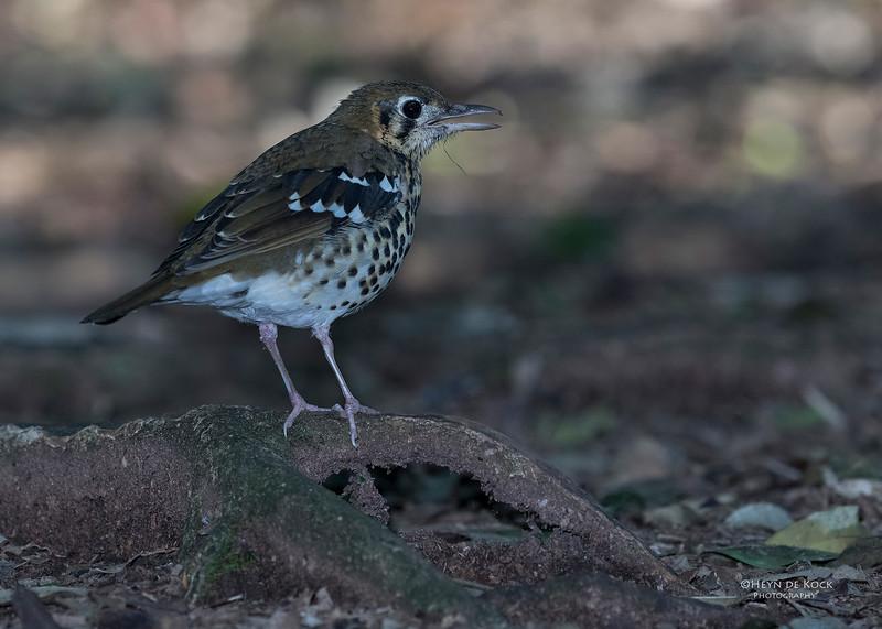 Spotted Ground Thrush, Eshowe, KZN, South Africa, May 2017-4.jpg