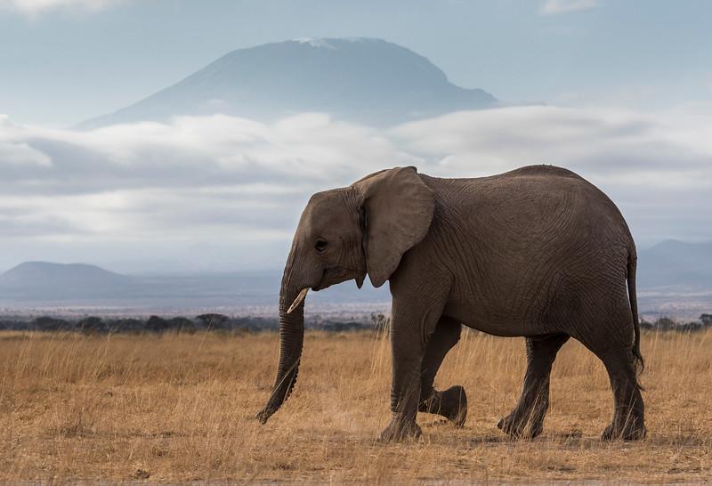 #elephants#kenya#africa#amboseli#kilimanjaro