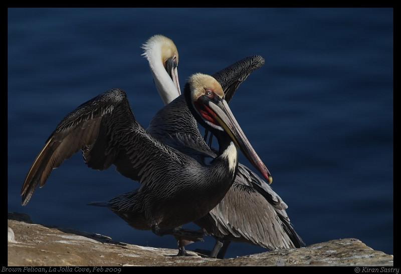 Brown Pelican, La Jolla Cove, San Diego County, California, February 2009