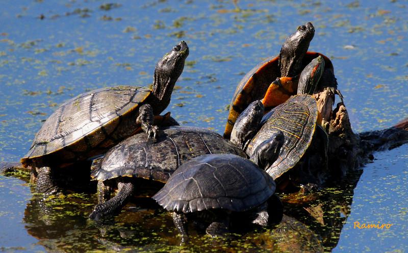 Turtles IMG_1666.jpg