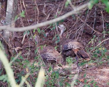 Wild Turkeys August 12, 2011