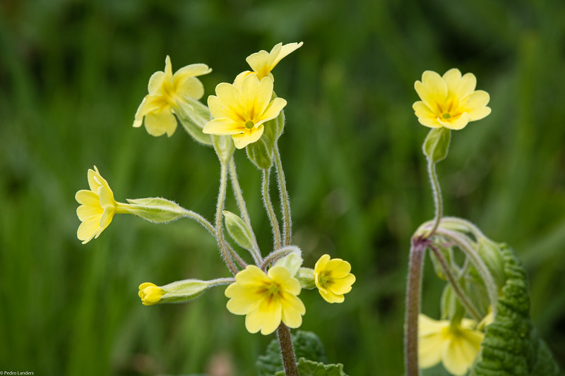 The Oxlip - Primula Promiscuity.jpg