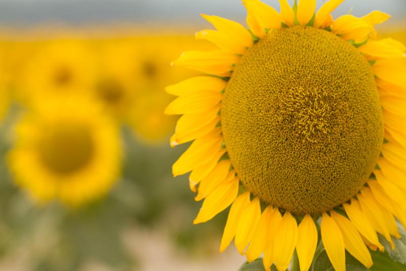 sun flowers-3911.jpg