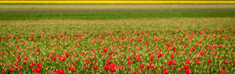 Tulips, daffodils . . . colour galore