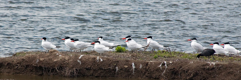 Caspian Terns and American Coot