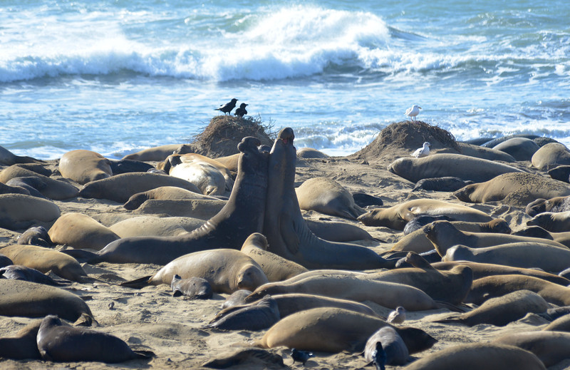 ano-nuevo-elephant-seals-2013 35.jpg