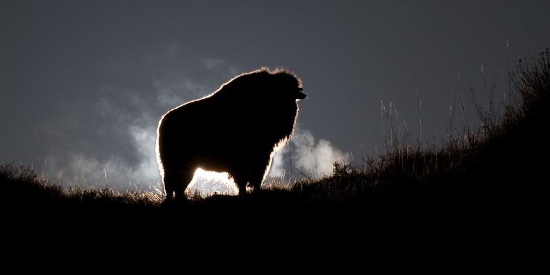 Bison Teddy Roosevelt National Park Medora ND IMG_6333.jpg