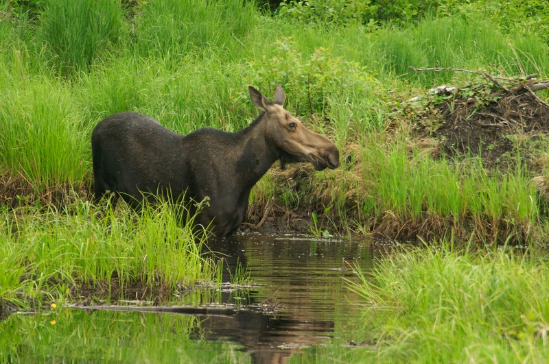 Wetlands, rivers and lakes with aquatic vegetation is where you can often find Moose in summer. Aquatic plants are relished because they are high in sodium [July; Gunflint Trail, Cook County, Minnesota]