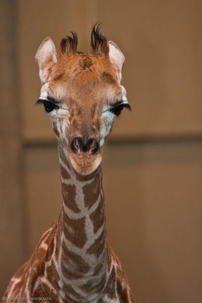 Baby Reticulated Giraffe, Calgary Zoo Dec. 23