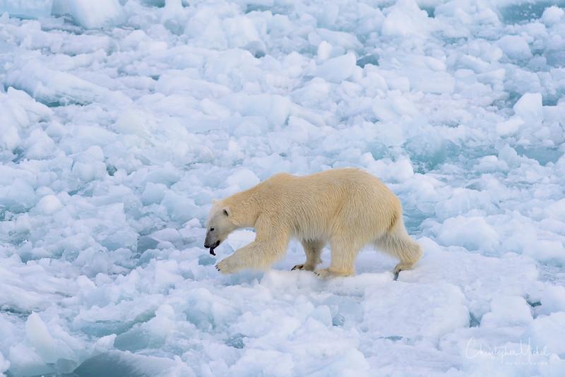 hot polar bear on ice.jpg