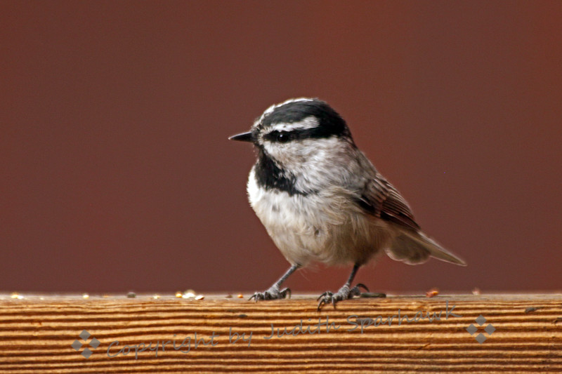Mountain Chickadee ~ This chickadee was photographed in the east Sierra Mountains.