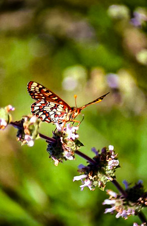 Chalcedon Checkerspot Butterfly on  Flower