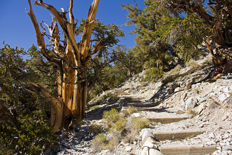 Discovery Trail through Bristlecone Pine forest