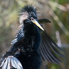Anhinga sunning after a swim