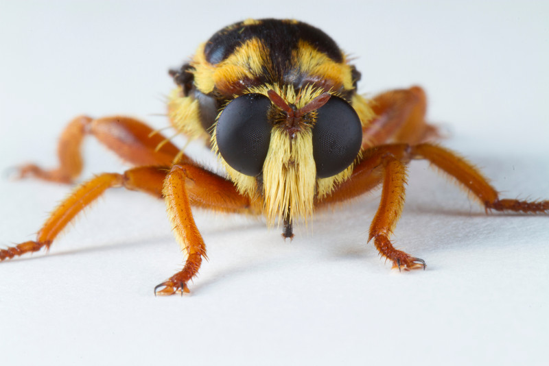 Bee mimic robber fly