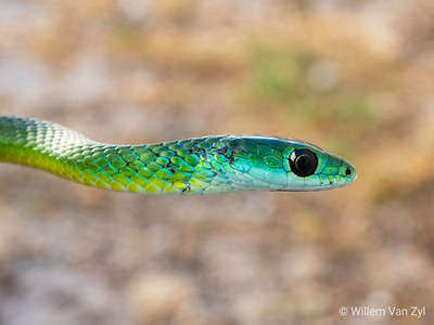 Western Natal Green Snake (Philothamnus occidentalis)