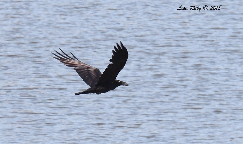 Common Raven  - 6/1/2018 - Lake Hodge-Bernardo Bay Trail