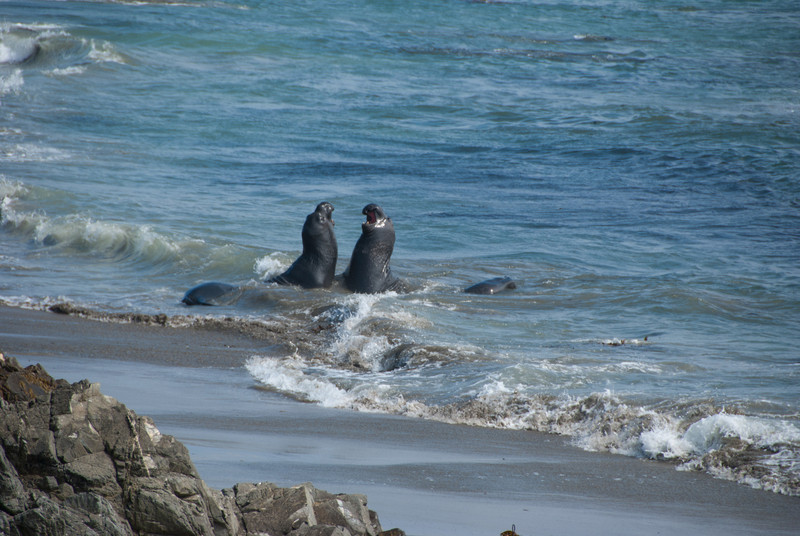 Elephant seals playing in the water
