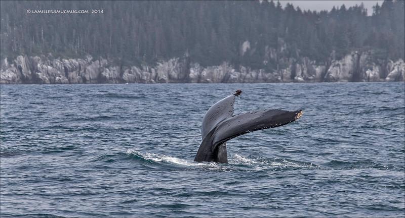 Humpback Fluke - Resurrection Bay, Alaska
