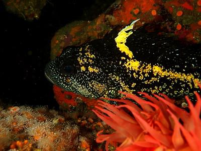 Sebastes nebulosus (china rockfish)