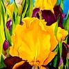 THIRD PLACE PAINTINGS CATEGORY:  Supreme Sultan Iris
