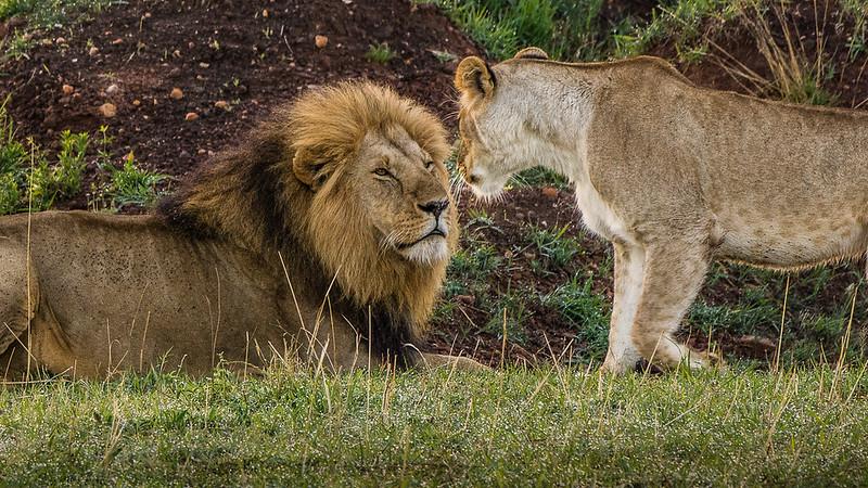 Lions-0126.jpg