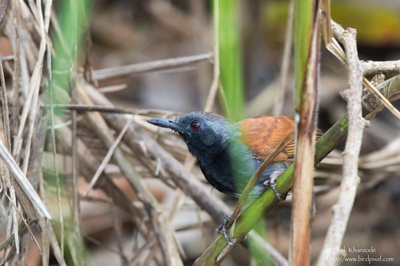 White-bellied Antbird - Male - Record - Gamboa Rainforest Resort, Gamboa, PA