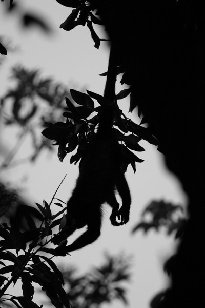 we woke up at 5:30 one morning to find Howler Monkeys, found one!