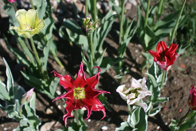 Tulips 2011 007.JPG