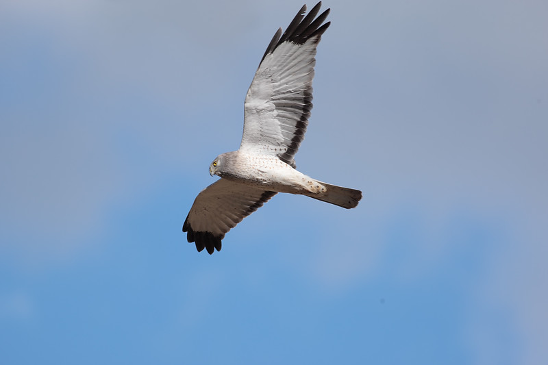 Male_Northern_Harrier_2P8E3775.jpg