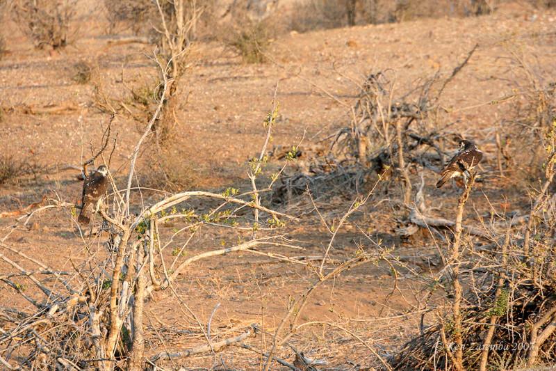 African Hawk-Eagle, Mashatu Game Reserve, Botswana