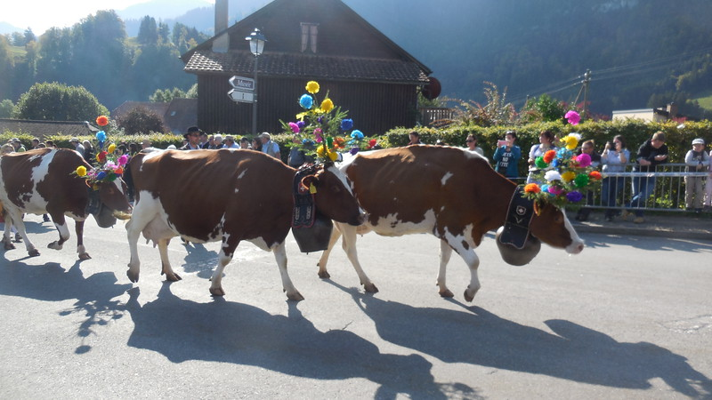 brown and white cows parading down the street at the Desalpe Festival