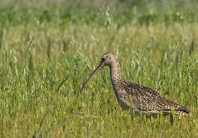 Whimbrels & Curlews