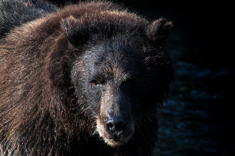 Grizzly Bear Stare.jpg