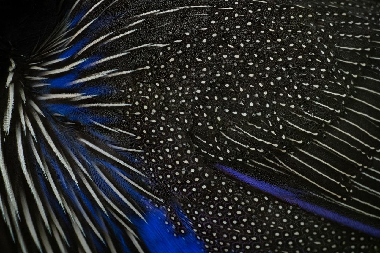 Vulturine Guineafowl Feathers
