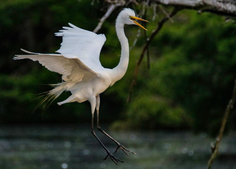 Whee Egret.jpg