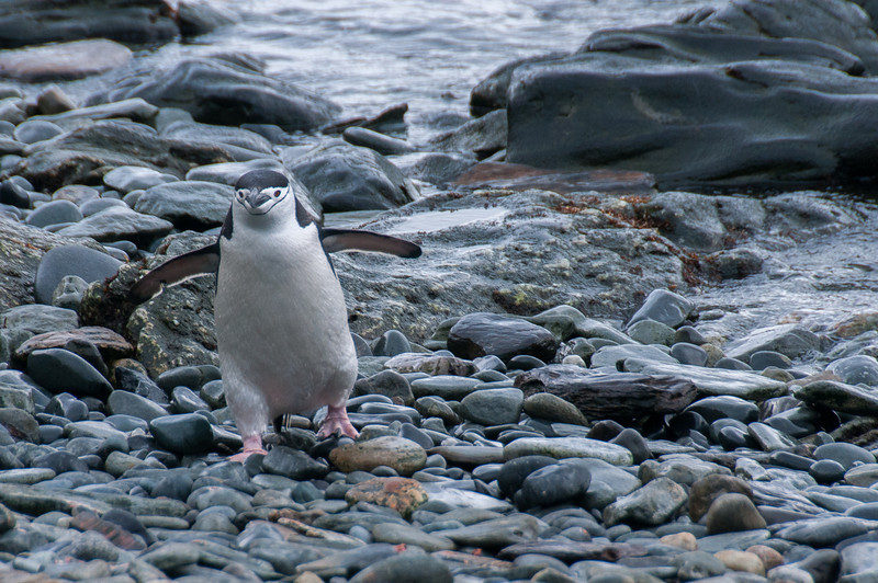 Penguin in Cooper Bay, South Georgia Island
